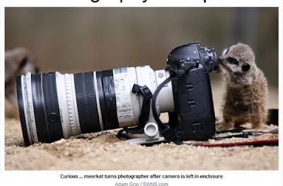 英國 小狐獴 攝影師