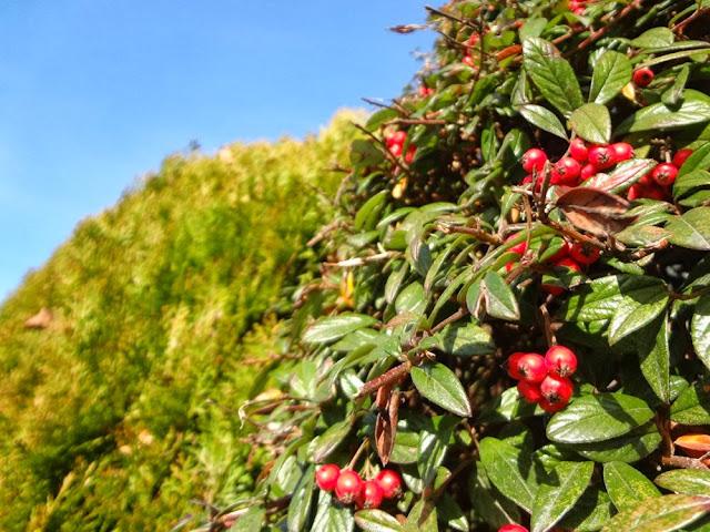 Late fall scene, berry bush beside a green shrub in Vancouver