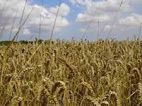 Wheat_farm