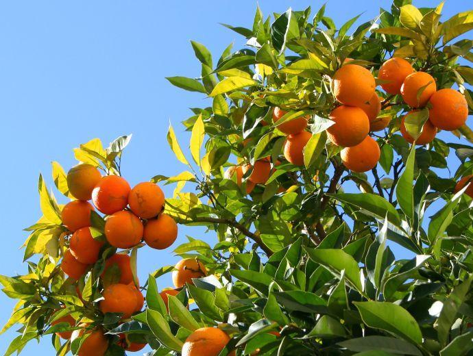 Soledad sf se encuentran a la venta plantas frutales y for Plantas frutales