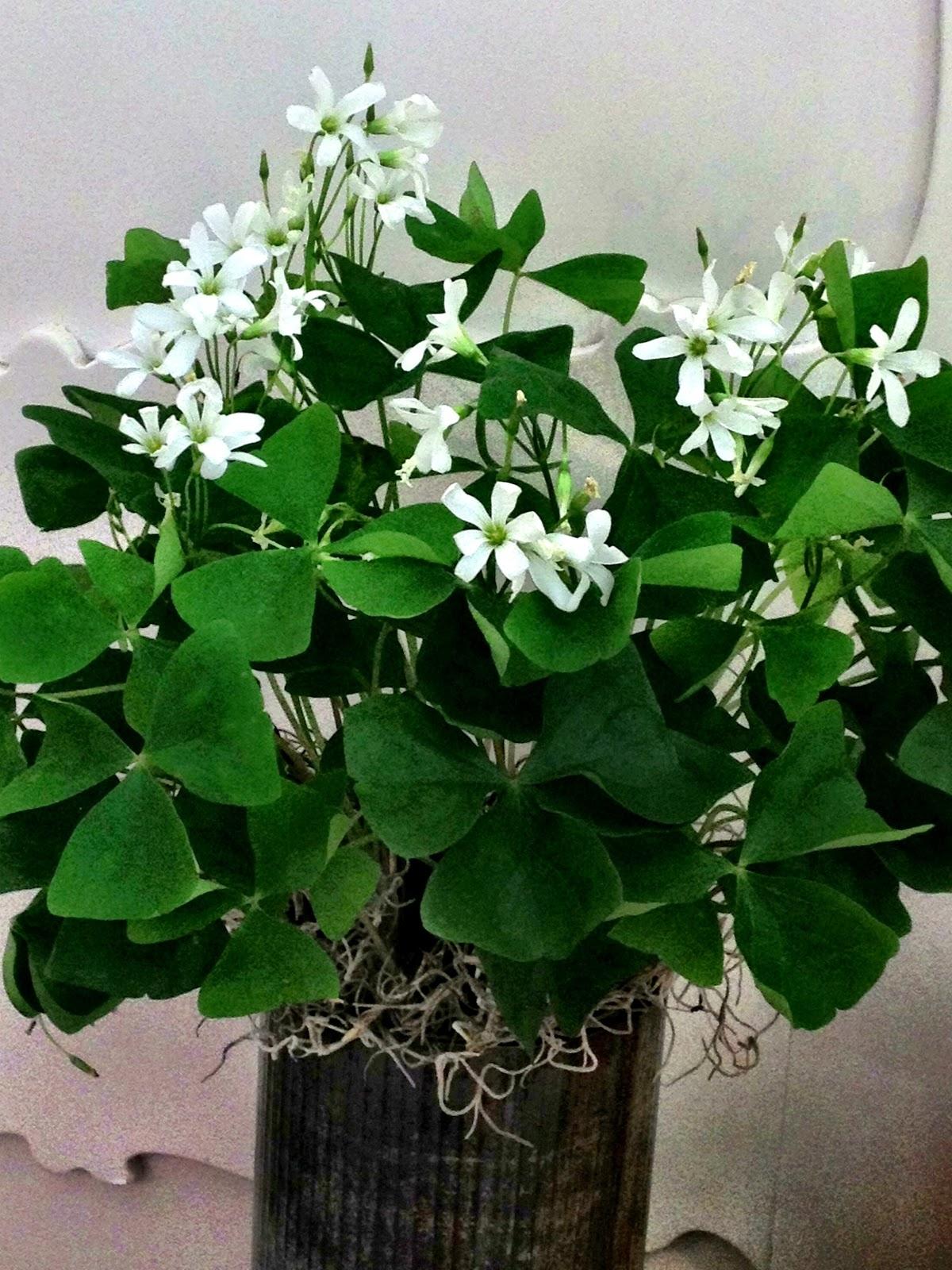 Bank of flowers shamrock plant - Shamrock houseplant ...
