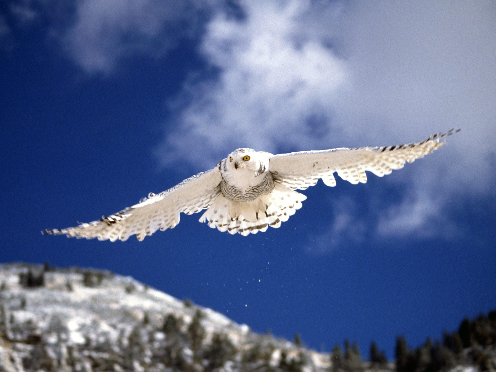 Snowy owl in flight at night - photo#9