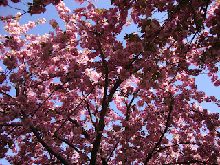 sakura trees brooklyn