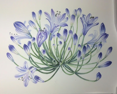 Agapanthus flowerhead (work in progress) Shevaun Doherty