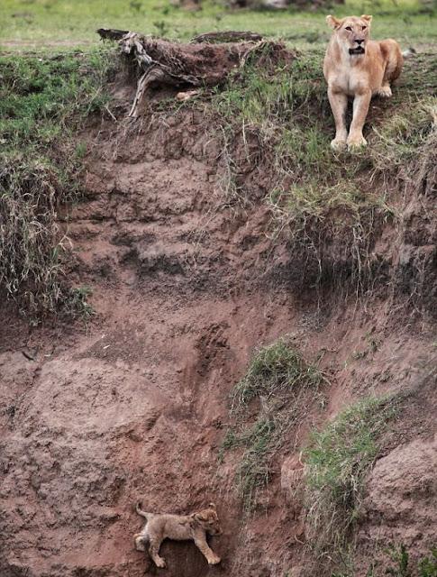 rescate de cachorro de leon