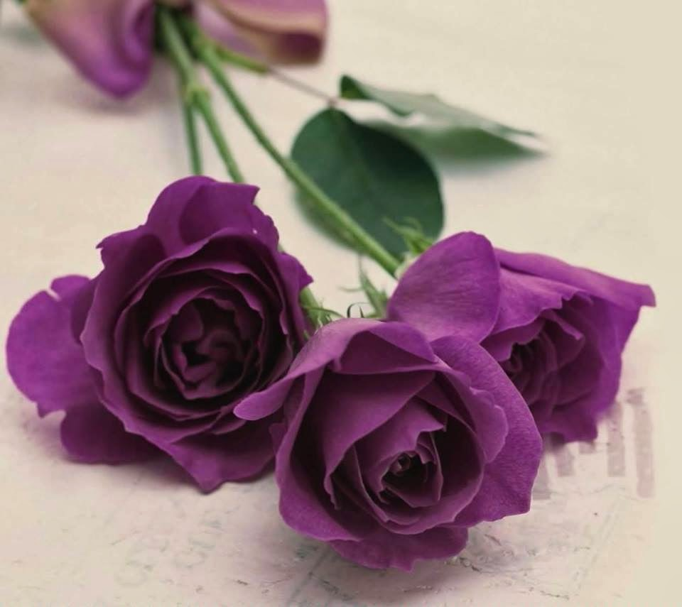 Beautiful Purple Color Rose Wallpaper 1080p Beautiful Roses