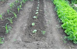 12 июня, кукуруза, огурцы и салат