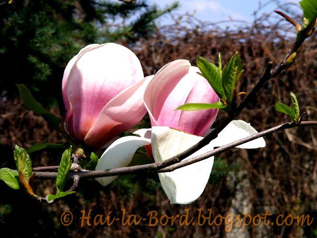 magnolii parc romanescu craiova