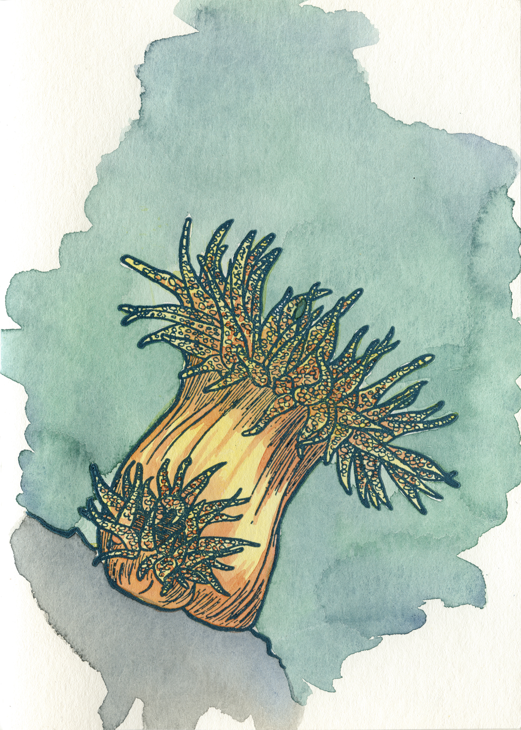 Sea Anemone Drawing Sea anemone above, sea jelly