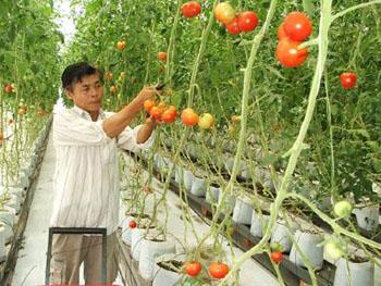 trang trại cà chua