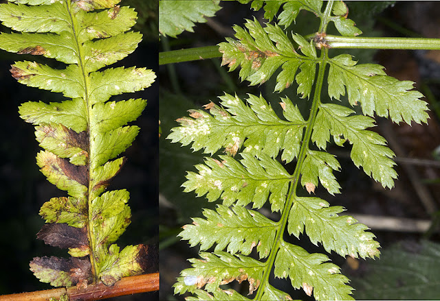 Hard Shield Fern, Polystichum aculeatum, left; Broad Buckler Fern, Dryopteris dilatata, right.  Orpington Field Club trip to Scadbury Park, 21 January 2012.