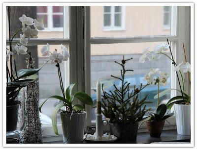 vit orkidé-vinter