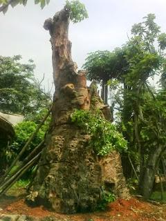 pohon kaki gajah