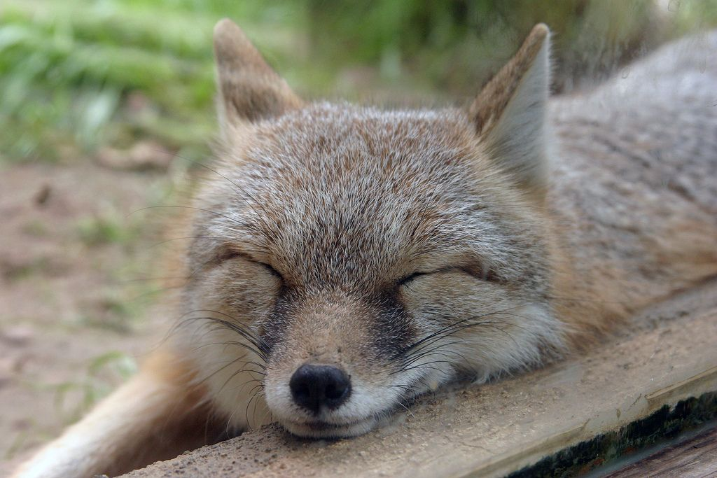 15. Snoozing Fox by Jeff Johnson