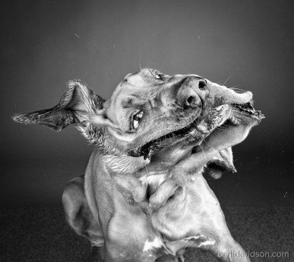 carli davidson fotografia cachorros cães se chacoalhando sacudindo alta velocidade shake