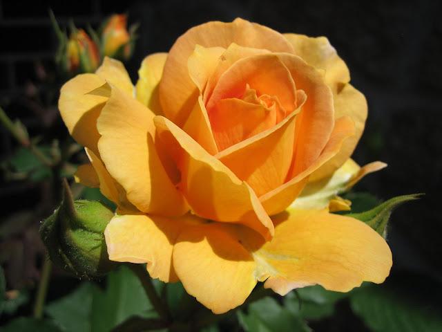 one large yellow ocher rose