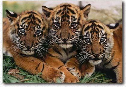 foto harimau sumatera - gambar hewan - foto harimau sumatera