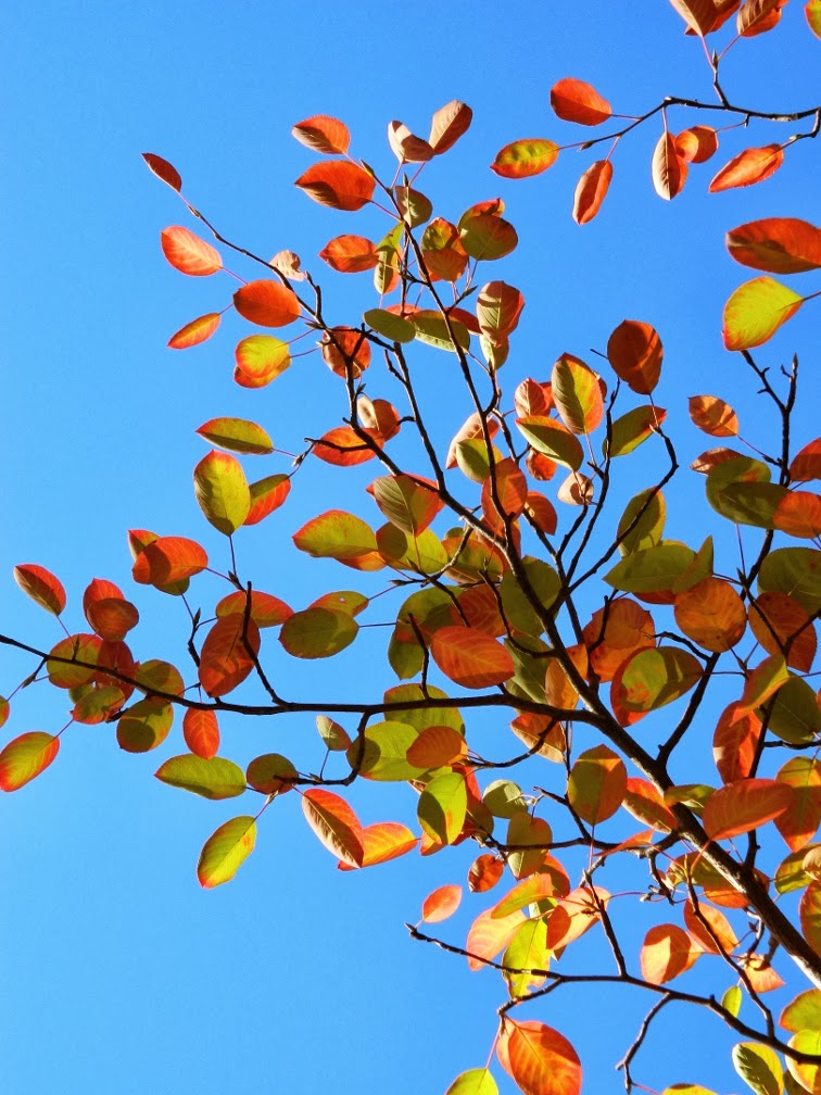 Serviceberry Amelanchier arborea fall foliage by garden muses-a Toronto gardening blog