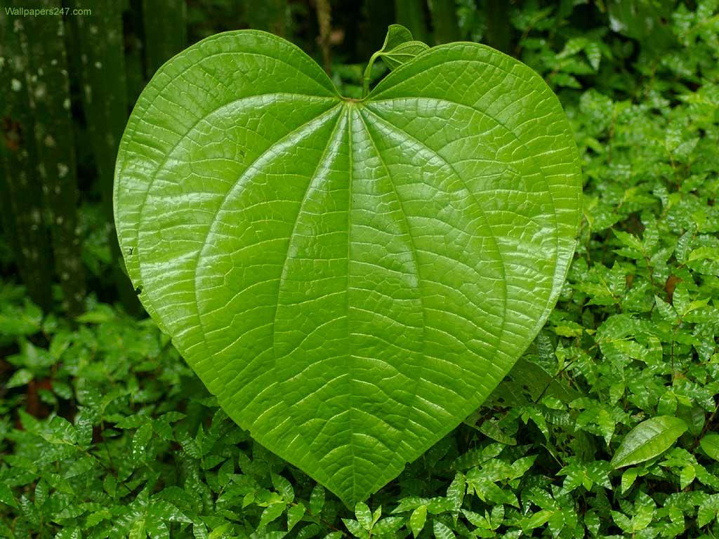 фото большого листья