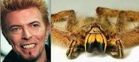 Araignée Davidbowie Heteropoda