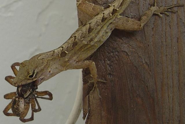 Lizards Eat Spiders Lizard Eating a Big Fuck Off
