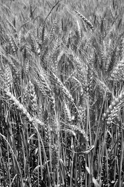 Wheat Hwy 388 Hickory Ridge Studio
