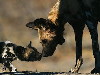 Foto Anjing Afrika Mesra