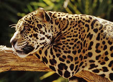Jaguar Brazilphoto Steve Winter Panthera York