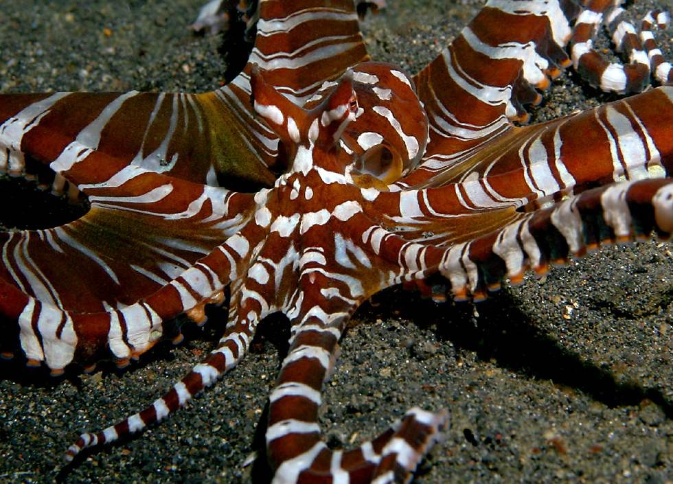 Mimic Octopus Pictures...