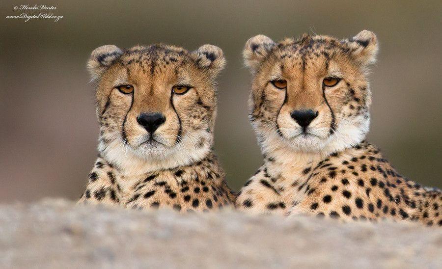 16. Twins by Hendri Venter