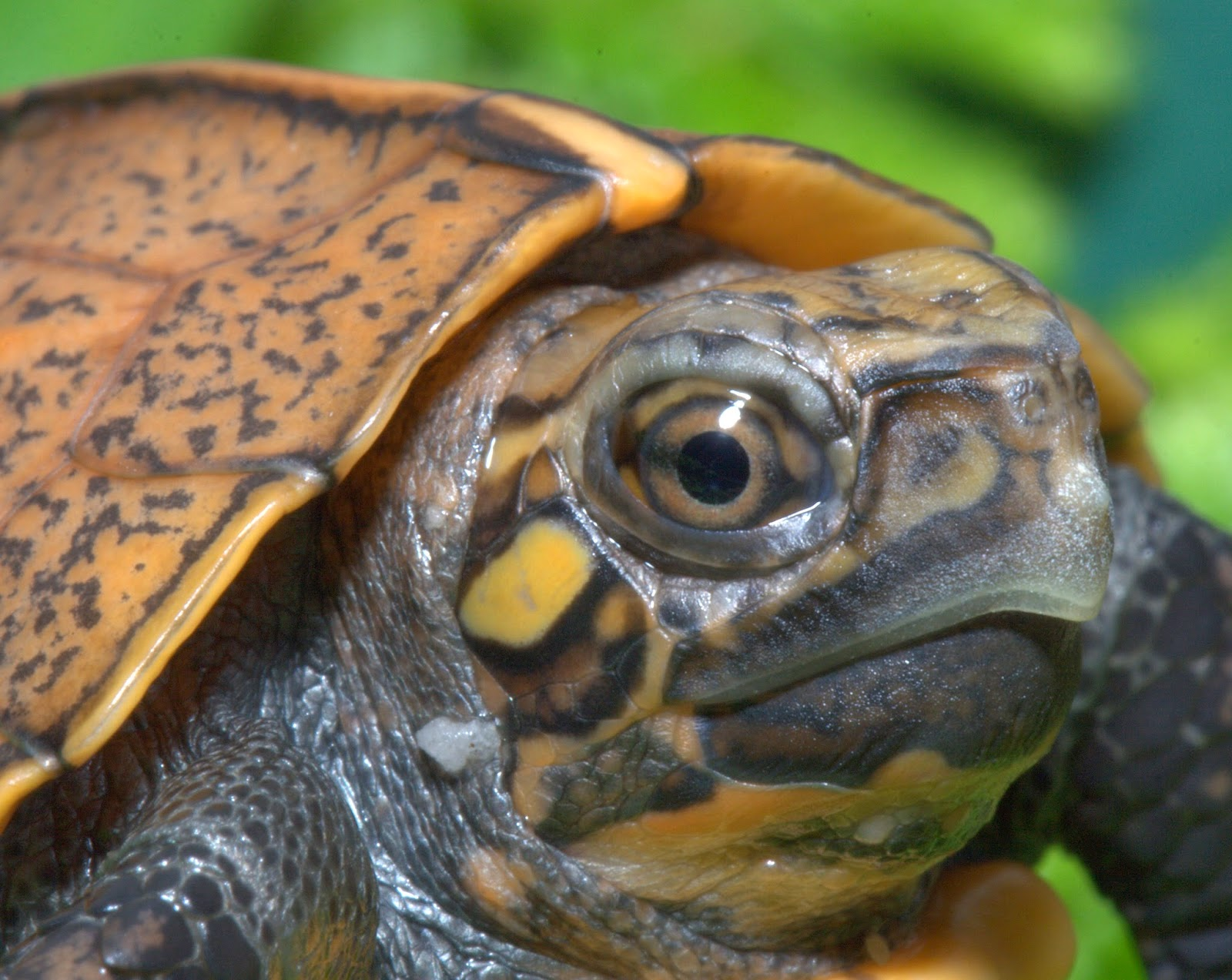 Aquarium Blog: (More) Baby Turtle News: Endangered Keeled Box Turtle ...