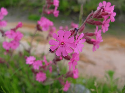Silene dioica – Red Campion (#52)