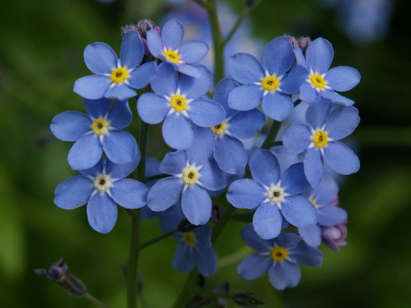 Forget - me - not (+GFC)