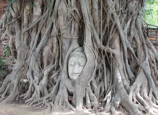 buda en un arbol en Ayutthaya