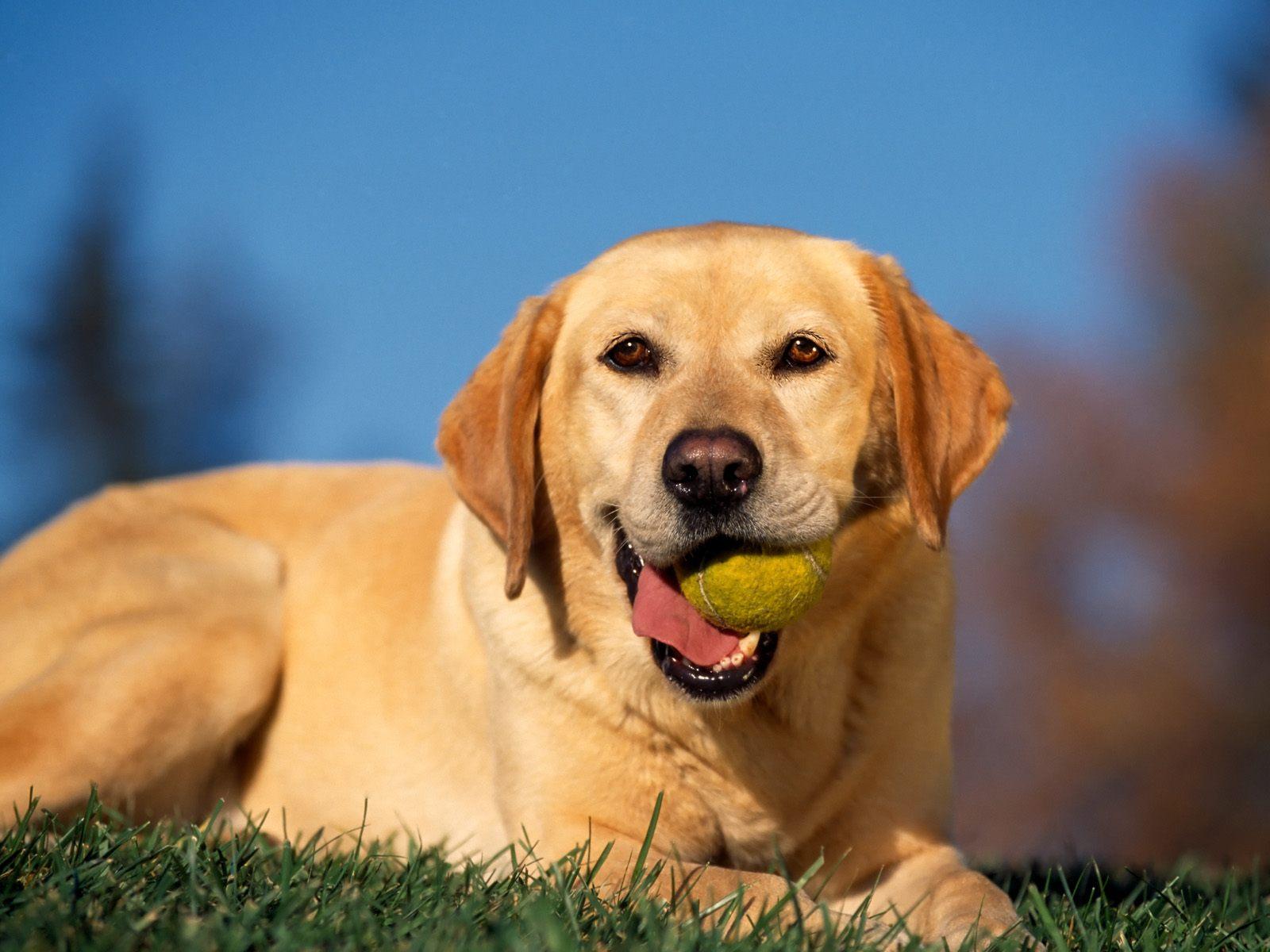http://4.bp.blogspot.com/-gkiOaHKoE4U/TjQhnrHbjMI/AAAAAAAAAD4/RYJpVemslgs/s1600/Break+Time%252C+Yellow+Labrador.jpg
