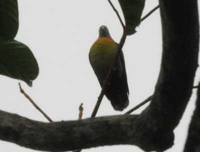 Little Green-pigeon (Treron olax)