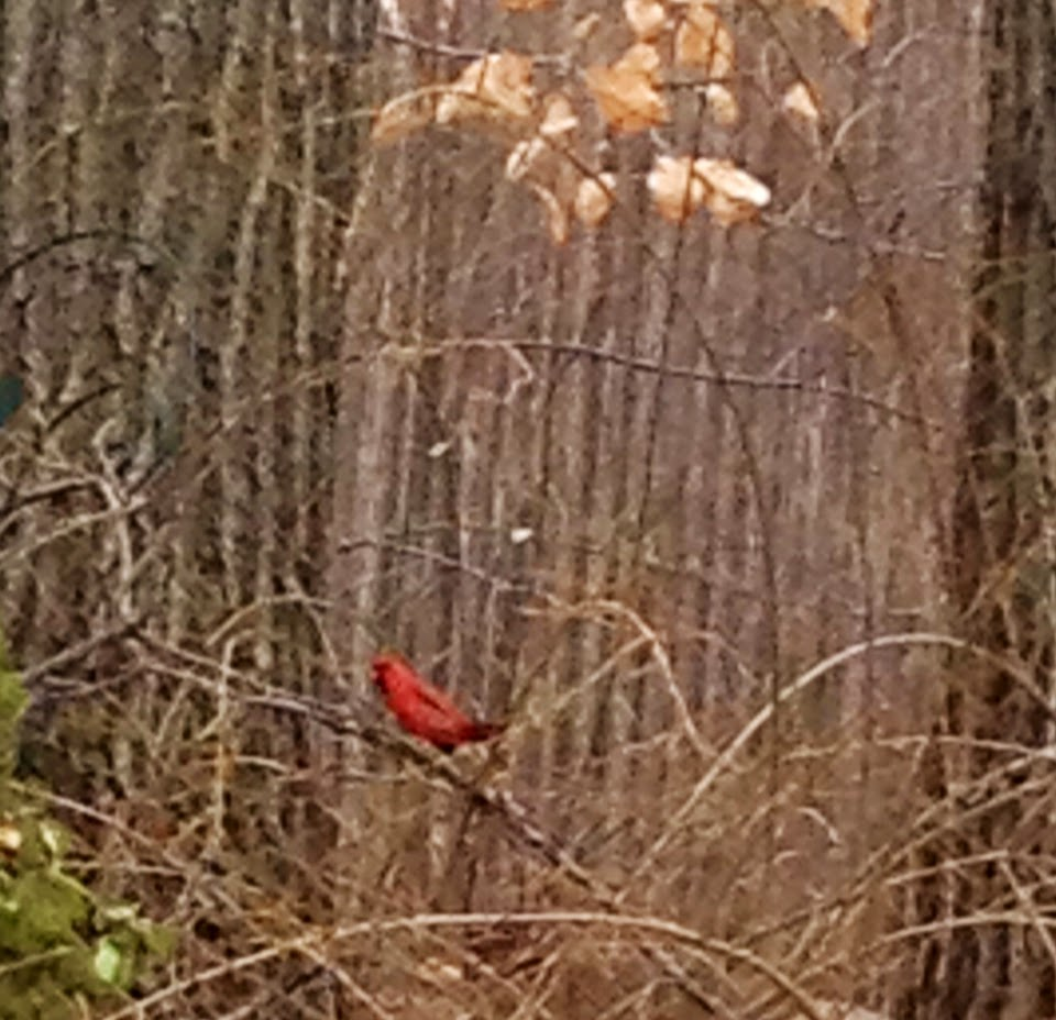 Image when i need it most a cardinal will appear in my yard one two and sometimes three buycottarizona Images