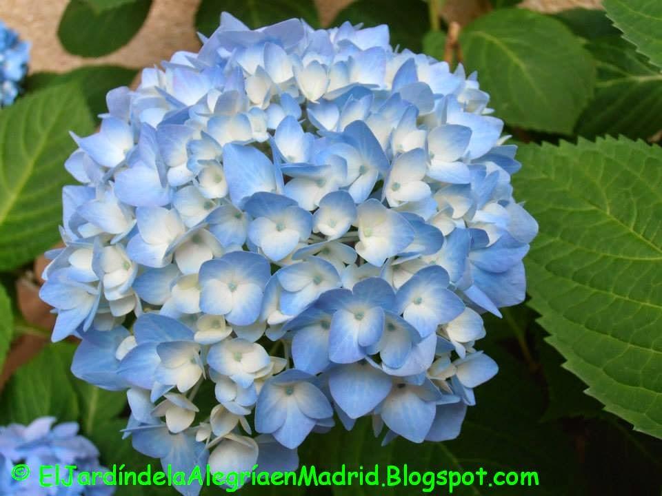 El jard n de la alegr a qu hacer para que las hortensias sean azules hydrangea macrophylla - Cuidados de las hortensias ...