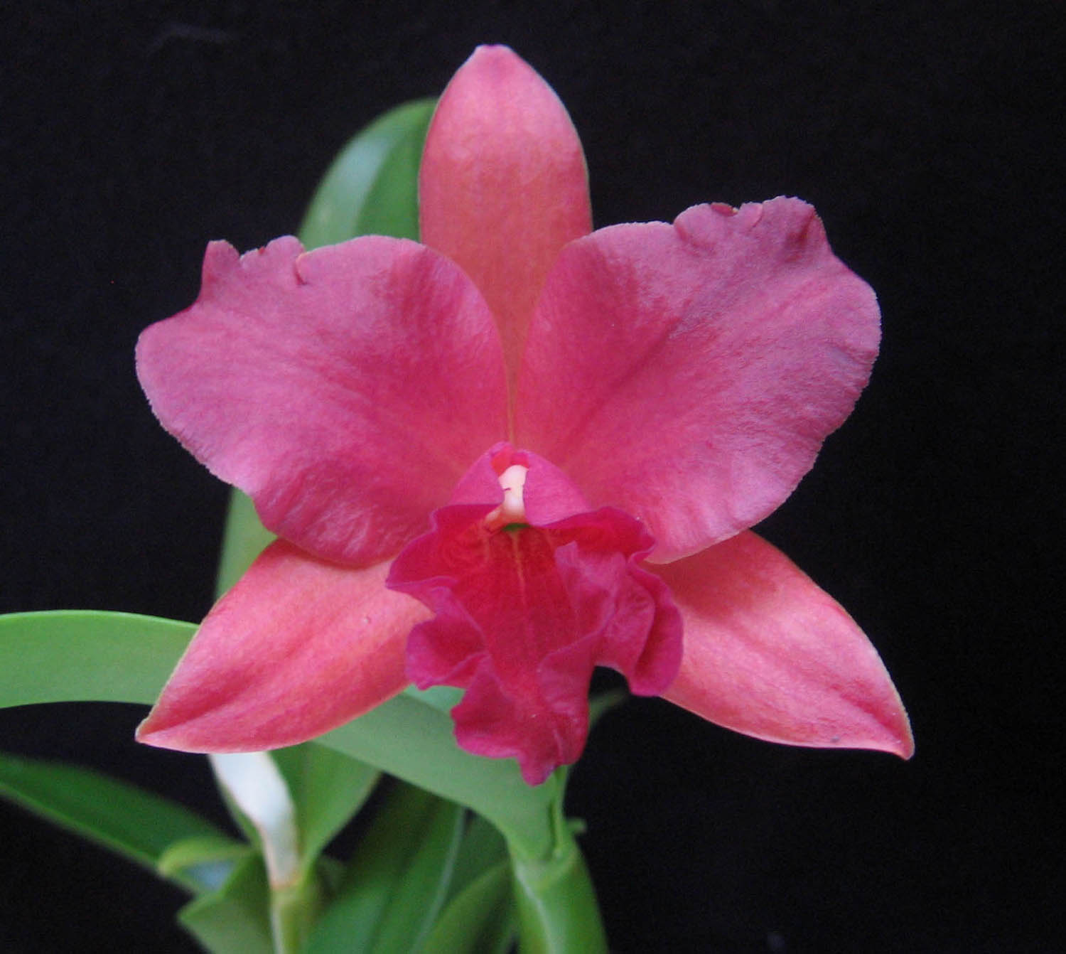 Perfume Project Nw Cattleya Orchids The Original Fruity Floral Scent