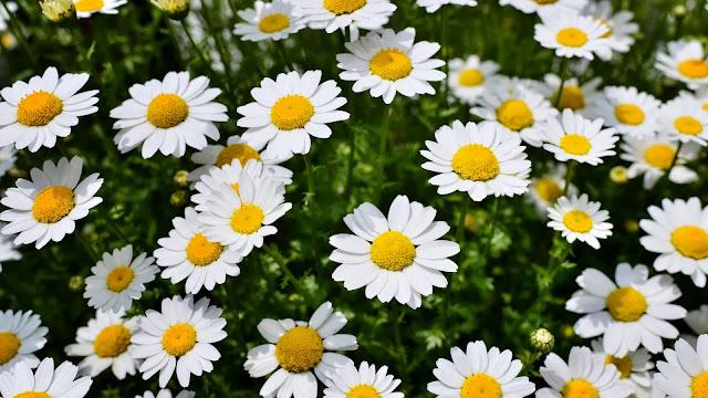 Imagenes Flores de Margaritas