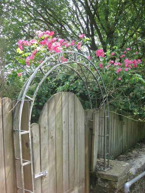 Pink climbing roses on a gate