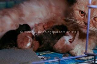 kitty melahirkan, kucing melahirkan, kelahiran anak kucing, bayi kucing, kitten
