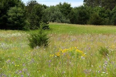 sand plain meadow wildflowers
