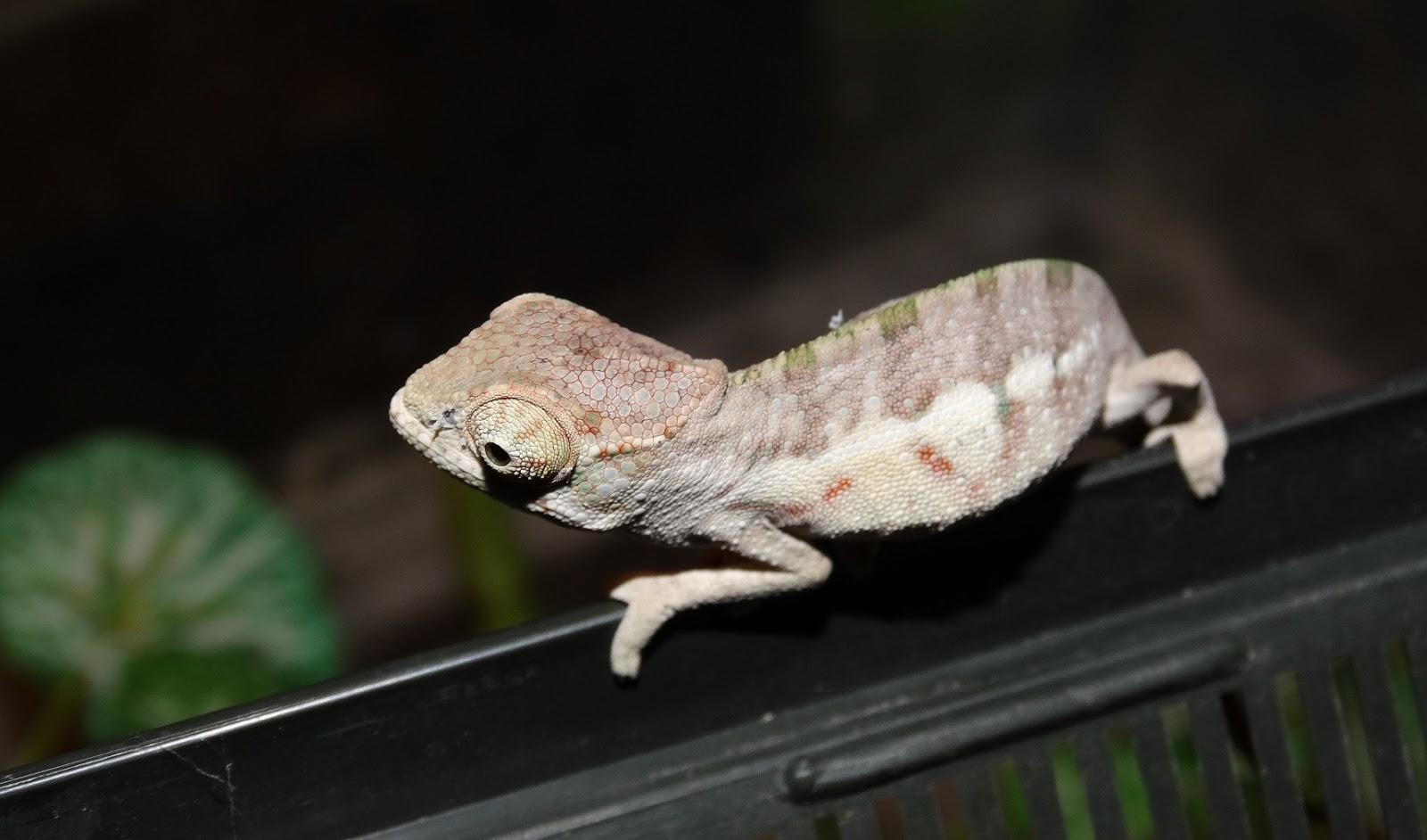 X 1 Chameleon Panther Chameleon Liza...