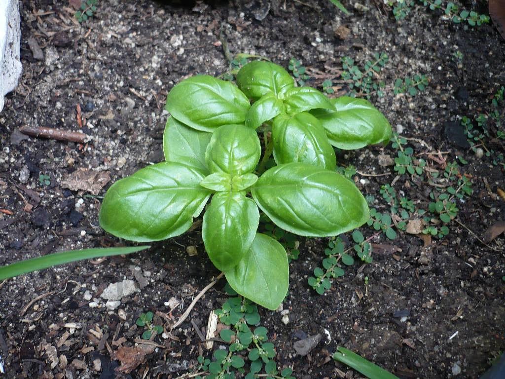 Producciones alternativas cultivo de la albahaca for Cultivo de albahaca en interior
