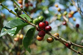 buy-coffee-bean-extract