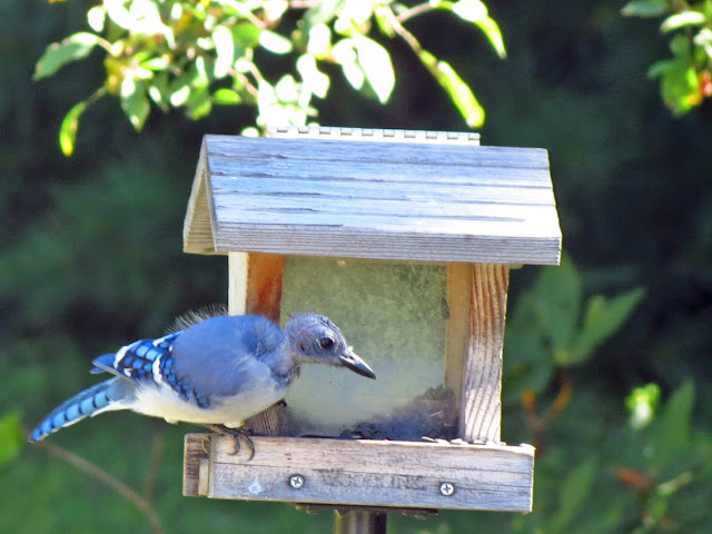 bald blue jay another look
