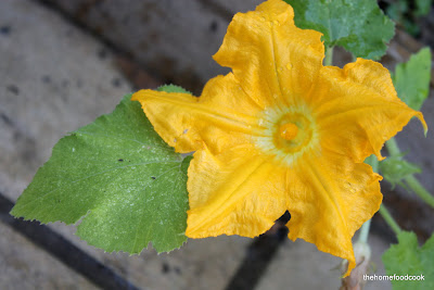 thehomefoodcook - balcony garden - zuchini flower