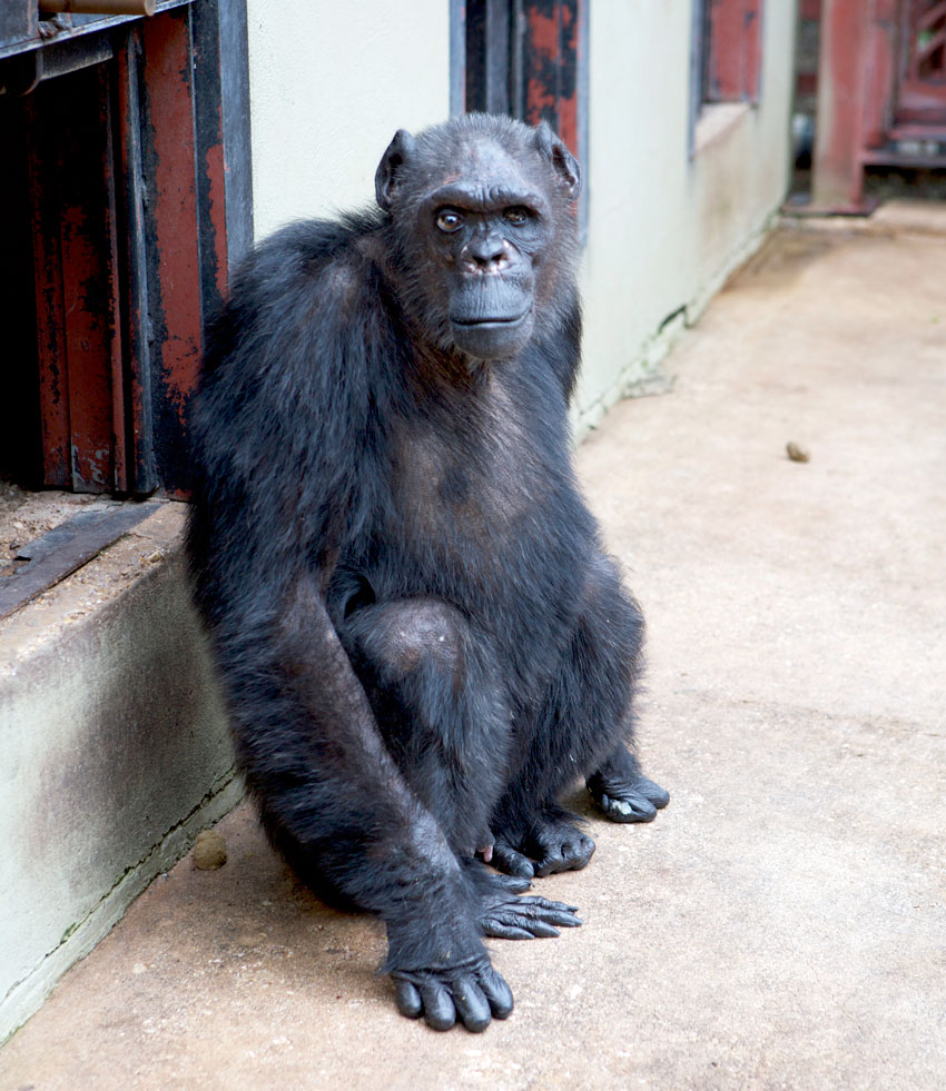Russian human ape hybrid