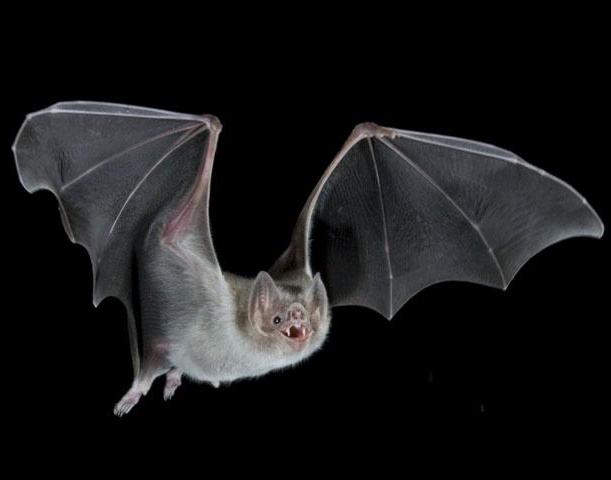 vampire bats sleeping. Health-Net: Vampire bats are